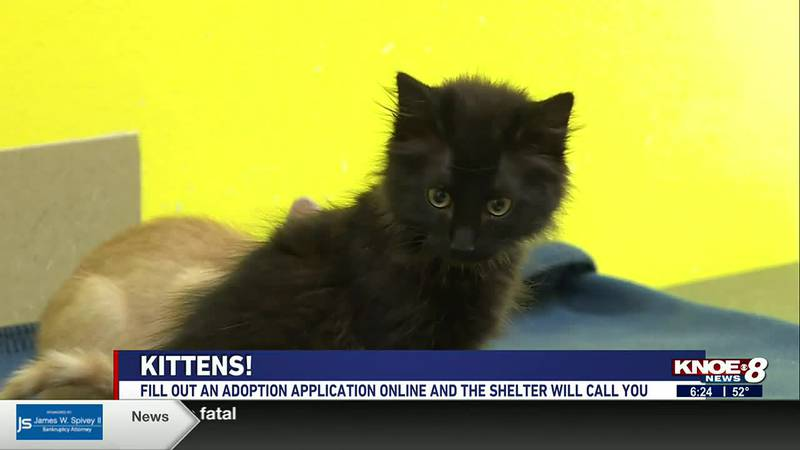 We're at River Cities Humane Society for Cats meeting some cute kittens available for adoption.