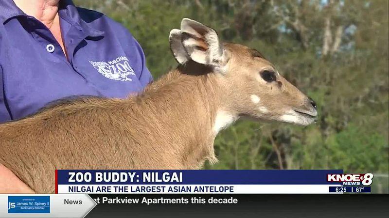 Zoo Buddy: Nilgai