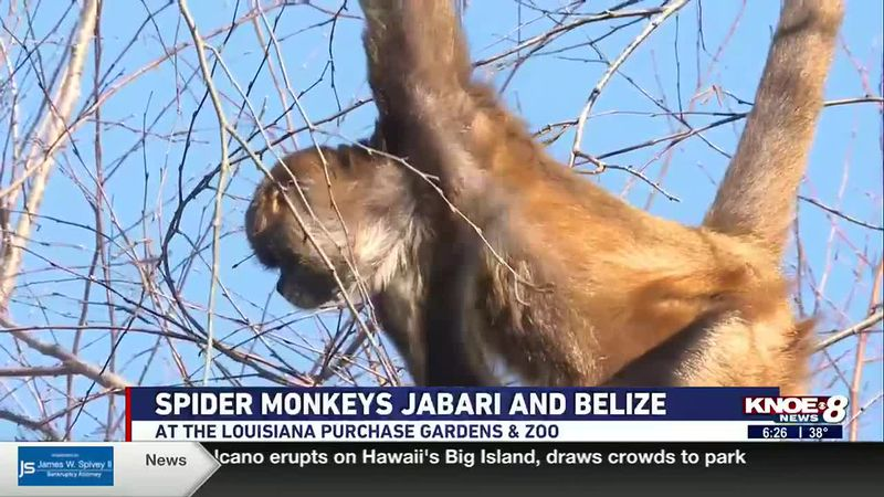 In our Zoo Buddy segment today (December 22) we met Jabari, a black-handed spider monkey, and...