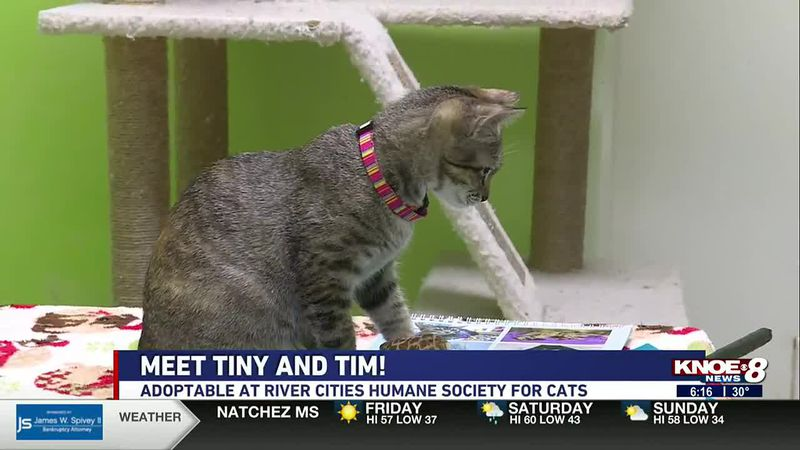 We're back at River Cities Humane Society for Cats highlighting some cute kittens today! Brooke...
