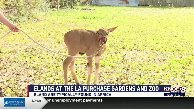 We're at the Louisiana Purchase Gardens & Zoo this week with a baby eland.