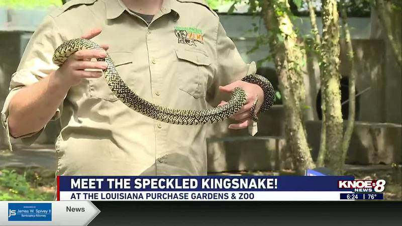 We're meeting Sheba, a speckled kingsnake, at the Louisiana Purchase Gardens & Zoo in this...