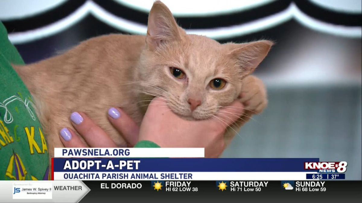 Slone the cat from River Cities Humane Society<br />(Source: KNOE)
