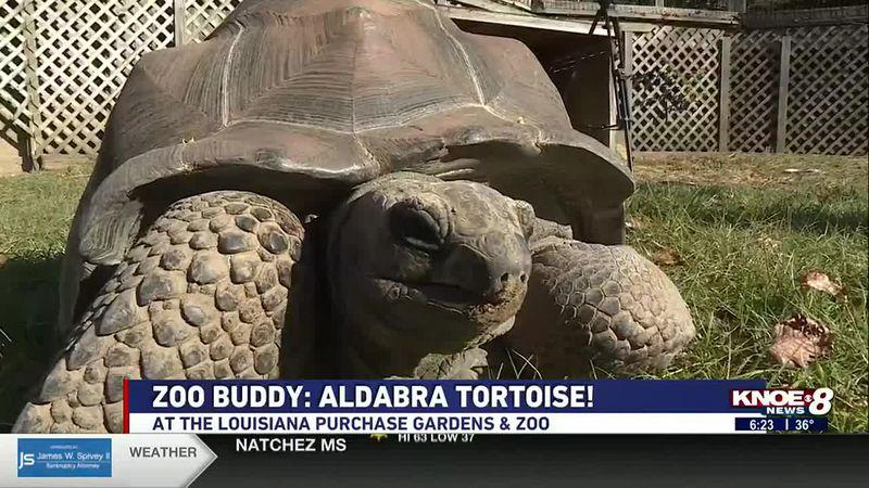 In this week's Zoo Buddy segment, we're highlighting the Aldabra Tortoise at the Louisiana...