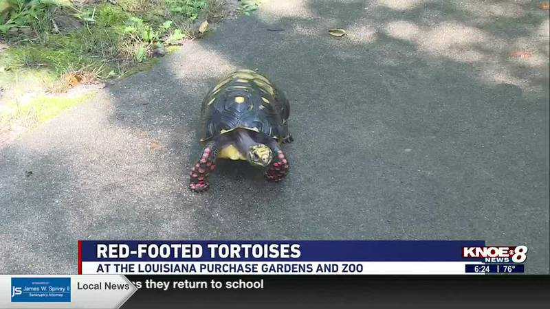 We're meeting a red-footed tortoise at the Louisiana Purchase Gardens & Zoo in this week's Zoo...