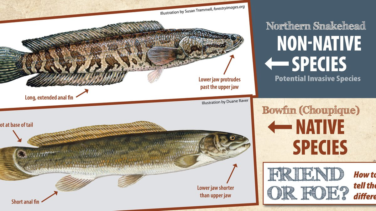 Northern Snakehead, Bowfin