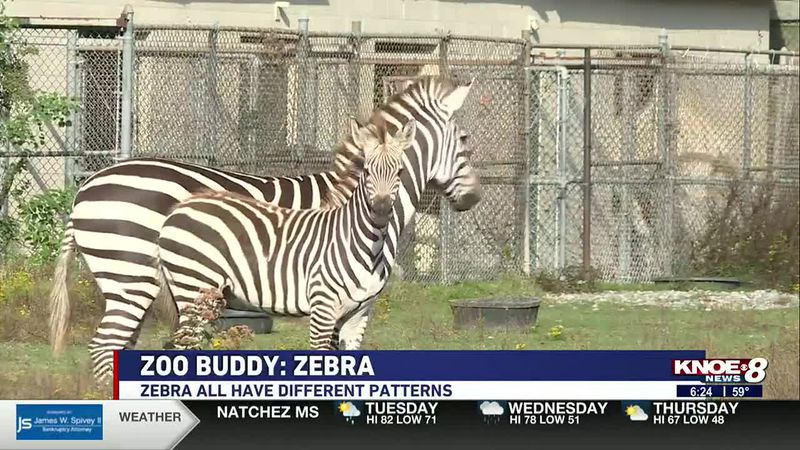 In our Zoo Buddy segment this week, we're introducing you to the zebras at the Louisiana...