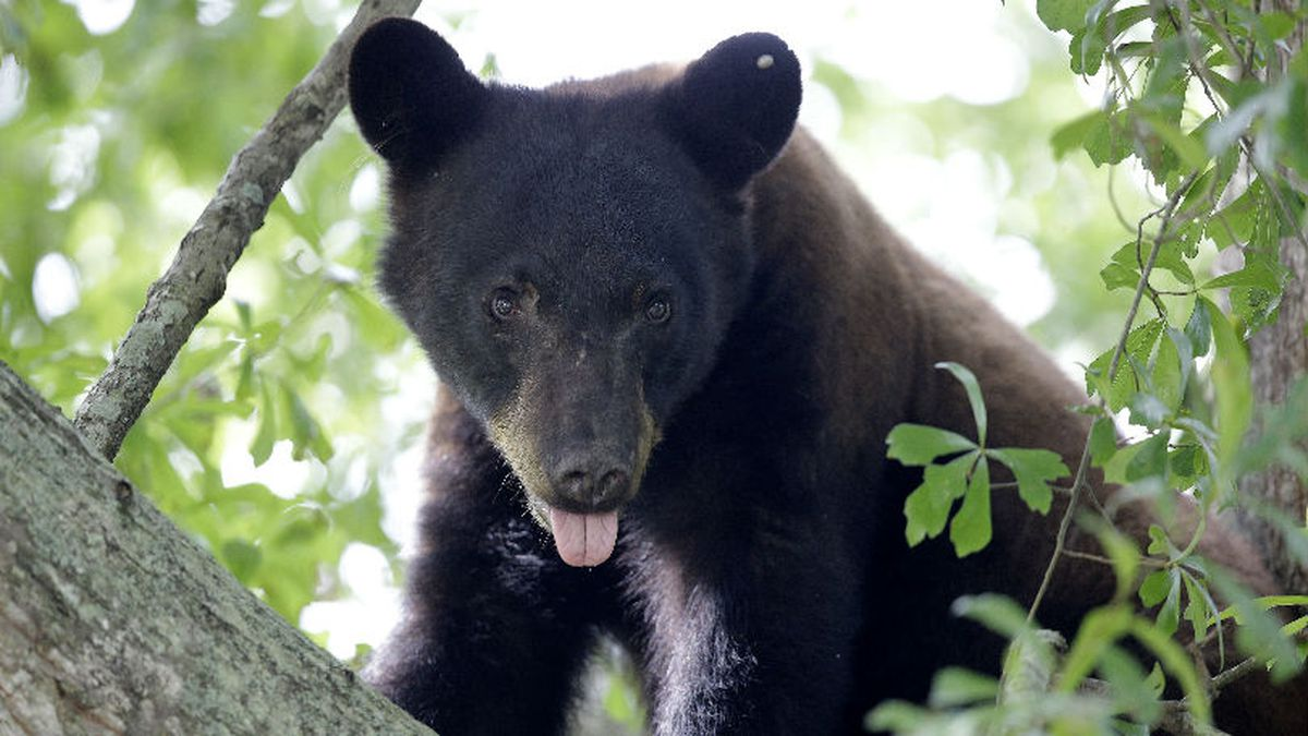 FILE - In this May 17, 2015, file photo, a Louisiana black bear, sub-species of the black bear that was protected under the Endangered Species Act, is seen in a water oak tree in Marksville, La. (AP Photo/Gerald Herbert, File)