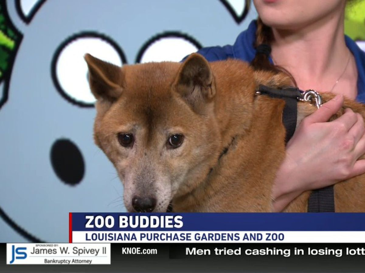 Zoo Buddies New Guinea Singing Dog