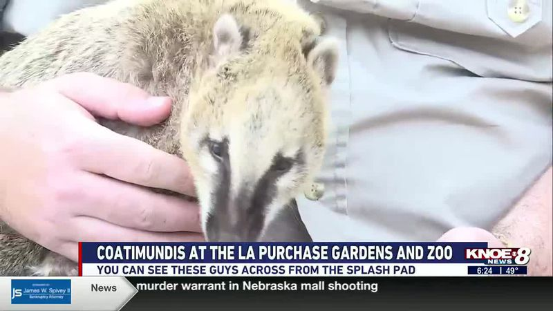 We're at the Louisiana Purchase Gardens & Zoo meeting the coatimundis in our Zoo Buddy segment.