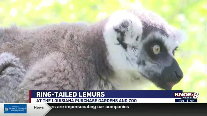 We're at the Louisiana Purchase Gardens & Zoo this week meeting Bam Bam, a ring-tailed lemur.