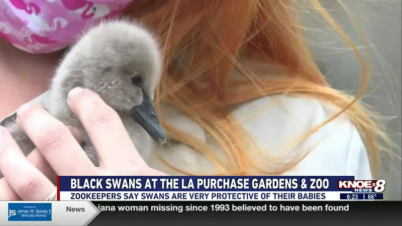 In this week's Zoo Buddy segment, we're meeting a baby black swan at the Louisiana Purchase...
