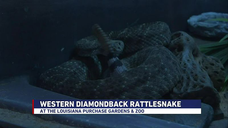 In this Zoo Buddy segment (February 2nd, 2021), we're learning about the Western Diamondback...