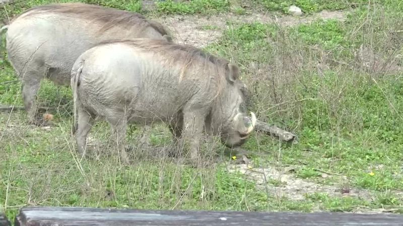 We're learning more about the warthogs at the Louisiana Purchase Gardens & Zoo in our Zoo Buddy...