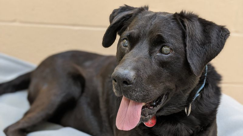 Capone, a black lab mix, lived at Animal Friends for more than three years.