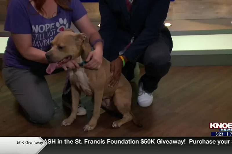 We're meeting Sabrina, a pit bull mix, available for adoption at the Ouachita Parish Animal...