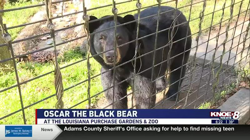 In our Zoo Buddy segment this morning, we highlighted Oscar, a black bear, at the Louisiana...