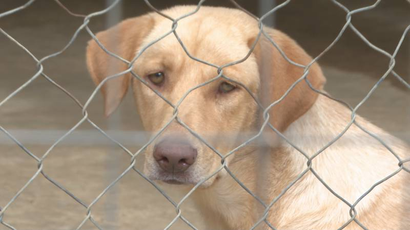 A dog sits in its enclosure at 4Paws Rescue waiting for adoption.